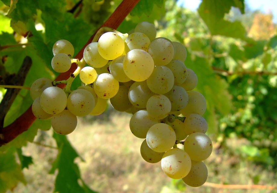 Sauvignon_blanc_vlasotince_vineyards